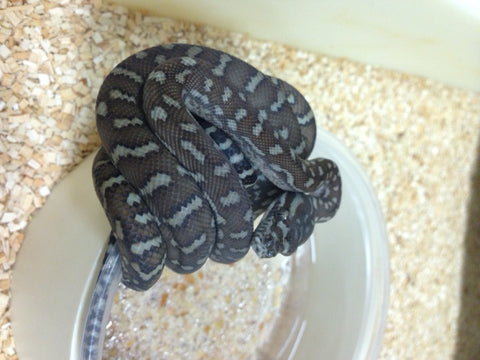 Bredli Carpet Python- Female - BHB Reptiles
