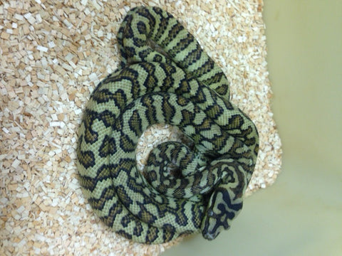 Bredli Jag 75% Carpet Python- Female