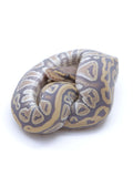 Ghost Cypress Honey Ball Python - Male #2016M02