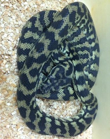 Het Albino Carpet Python- Female