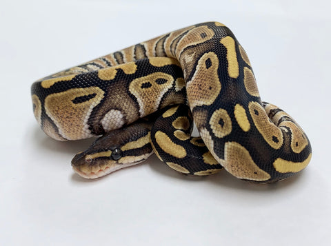 Mocha Ball Python - Female #2020F02