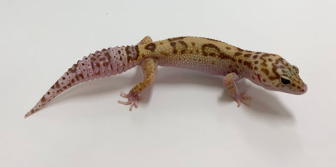 Jungle Tremper Eclipse Leopard Gecko (TSF)- #TA-N-L6-82018-1