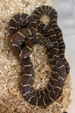 Jelly Brooks Kingsnake