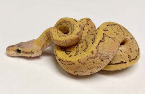 Dragonfly Yellowbelly Ball Python - Female #2018F02 - BHB Reptiles