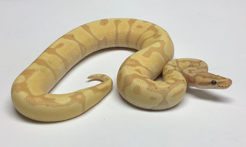 Banana Super Enchi Ball Python - Male #2019M04