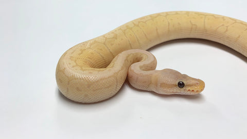 Banana Lemonblast Ball Python- Female #2019F04