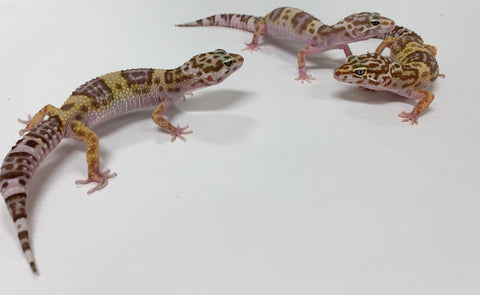 Leopard Gecko Group -Tremper Albino Group