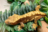 Crested Gecko- ADULT- Harlequin, Blushing Red & Black Spots-Male