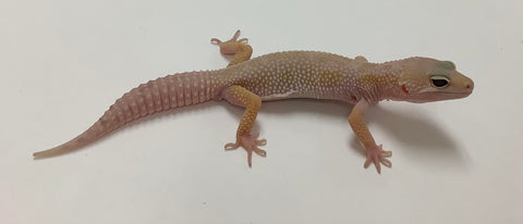 Mack Snow Murphy Patternless W/Y Leopard Gecko-Male - #LL-I1-61720-1
