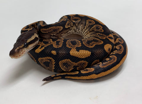 Black Pastel Yellowbelly Ball Python  - Male #2019M01
