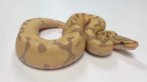 Banana Super Enchi Ball Python - Male #2019M01