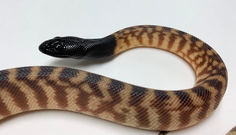 Black Headed Pythons- 2019
