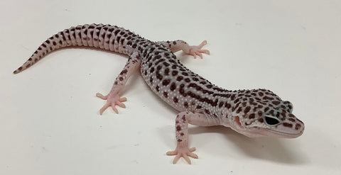 Super Snow Pos Het Murphy Patternless, Tremper Albino & Eclipse Leopard Gecko-Male-#TB-Q-I7-71219-1