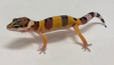 Normal Leopard Gecko (TSF) - #TB-Q3-60719-1