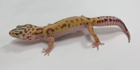 Jungle Albino Tremper Pos Het Eclipse & Murphy Patternless Leopard Gecko Male -#TB-T-N6-72219-1