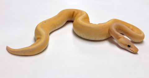 Banana Cinnamon Pinstripe Ball Python - Male #2018M01