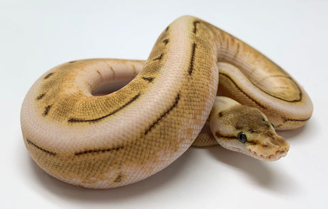 Enchi Chocolate Spinner Ball Python Female - #2019F01