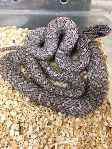 Ghost Brooks Kingsnake- Sub Adult
