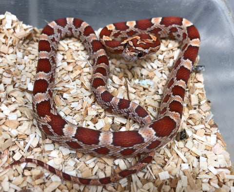 List of Synonyms and Antonyms of the Word: hypomelanistic corn snake