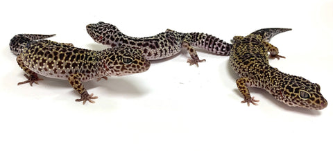 Leopard Gecko Group -Dark Mack Snow Pos Het Tremper Albino & Eclipse Group