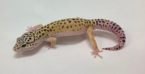 Normal Leopard Pos Het Eclipse Gecko Male - #TB-Q-G8-60119-1