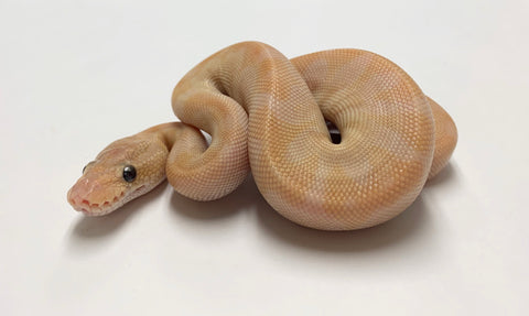Super Special Ball Python - Male #2020M01