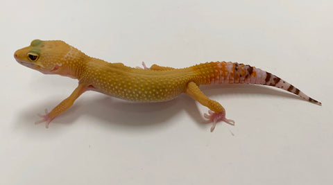 Sunglow Raptor Leopard Gecko Male- #TB-KK-L2-61619-1