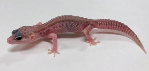 Super Raptor Leopard Gecko Male- #TB-I9-60719-1