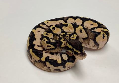 Pastel Calico Ball Python - Male #2020M03
