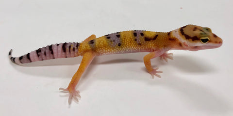 Normal Leopard Gecko (TSF) - #TB-R7-60519-2