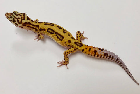 Bold Bell Stripe Possible Het Eclipse Leopard Gecko  (TSF)- #V-M12-101317-1 - BHB Reptiles