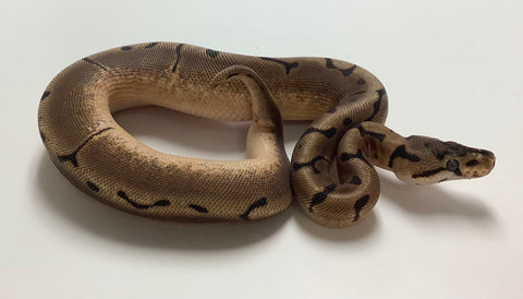 Spider X-treme Gene Ball Python- Female #2020F05