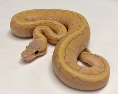 Banana Dragonfly Ball Python Male - #2018M01 - BHB Reptiles
