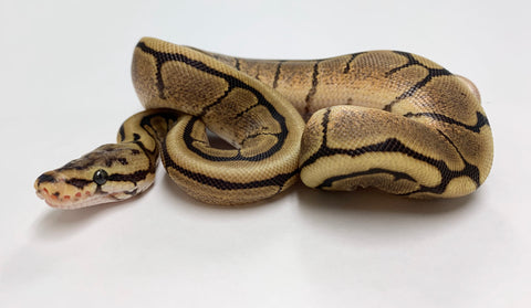 Flame Mahogany Spider Ball Python -Female #2020F01