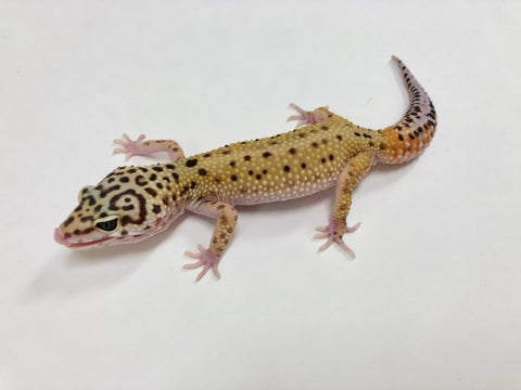 Patternless Stripe Leopard Gecko (TSF)-#C-AA-17-1 - BHB Reptiles