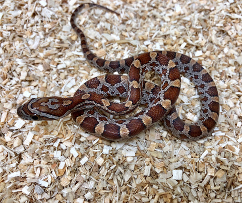 Cornsnake 66% Possible Het Albino Scaleless - BHB Reptiles