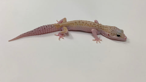 Mack Snow Eclipse W/Y Leopard Gecko-Male-#TB-U-R9-62819-1