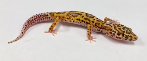 Jungle Albino Bell Eclipse Leopard Gecko (TSF)- #TA-MM-D2-72918-1