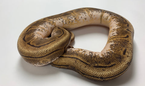 Motleybee Ball Python - Female With Wobble