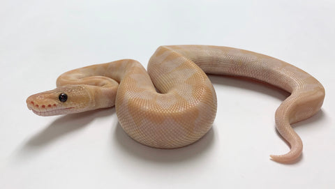 Super Special Ball Python - Male #2020M02