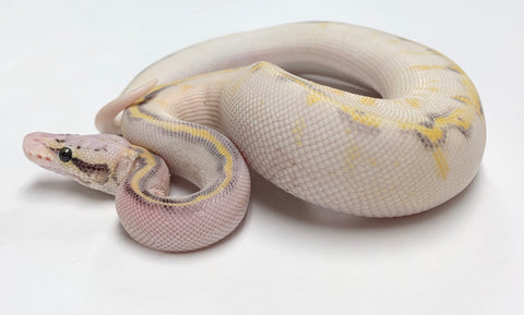Super Pastel Highway Ball Python - Male #2019M01
