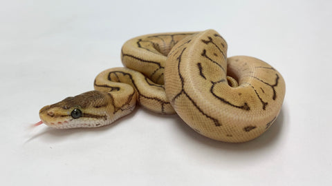 Mojave Spinner Ball Python - Female #2020F01