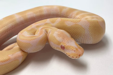 Albino  Enchi Ball Python- Male #2019M06