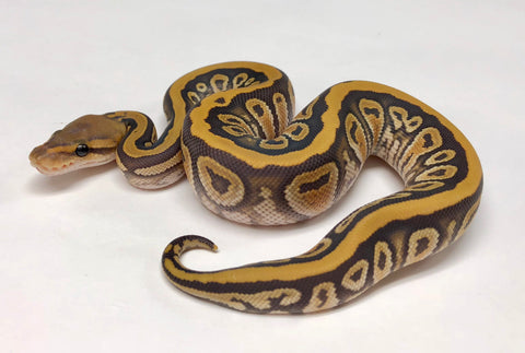 Ghost Cypress Honey Ball Python - Female #2018F01 - BHB Reptiles