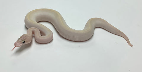 Pastel Ivory Ball Python - Female #2020F03