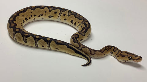 Clown Pos Het Albino and Ghost Ball Python- Female #2020F01