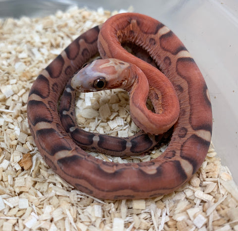 Scaleless Hypomelanistic Bloodred Cornsnake- #2019F02