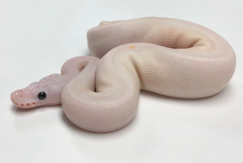 Super Fire Ball Python - Male #2019M03