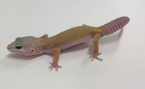 2019 Murphy Patternless Leopard Geckos - Deal Of The Day