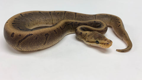 Chocolate Spinner Ball Python Female - #2020F01